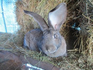 Кролики Фландр,шиншила ,Білий велетень