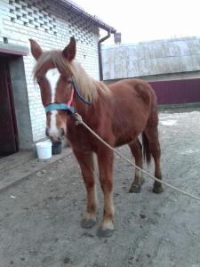 Продам лошака,торійської породи.