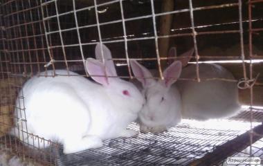 Кролі кролики термонці, породи термонська Розділ Стрий Львів Дрогобич