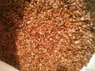 семена медоноснох бывшей гречки