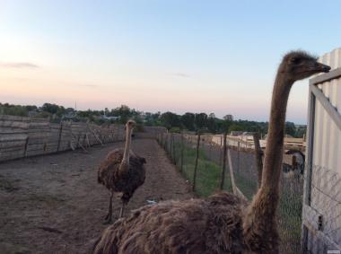 Продам чорних африканських страусів три самця і три самочки
