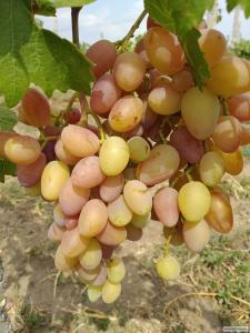 Реалізуємо столовий виноград ранніх сортів дрібним і великим оптом.