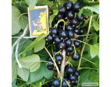Саджанці смородини по 10 грн(4 сорти)