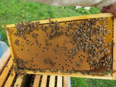 Продам бджолопакети бакфаст, карніка