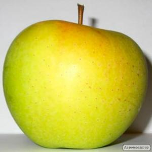Саджанці яблуні сорту Голден Делішес Смутти від виробника