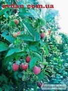Саджанці елітних сортів малини