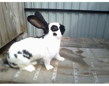 продаж кроликів