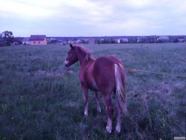 продам коней.