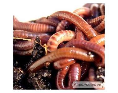 Червоні каліфорнійські черв'яки, черв'яки Старателі