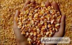Продається кукуруза 17-18 тонн