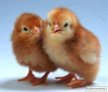 Курчата добові