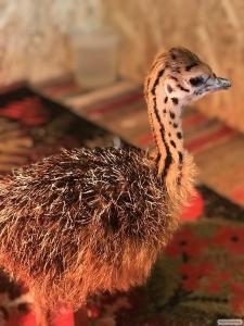 Продам пташенят африканського страуса!