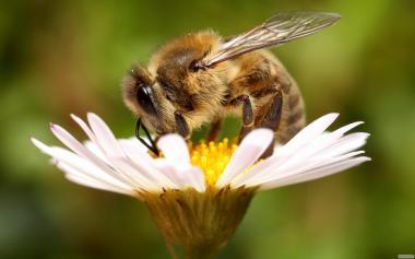 Бджолосімї,Бджодопакети