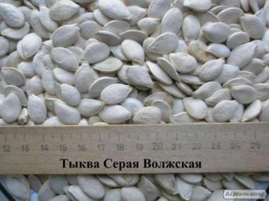 Продам семена товарной тыквы Сероволжская