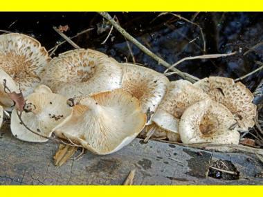 Міцелій Пануса тигрового / Пилолистник тигровий (Panus tigrinus)