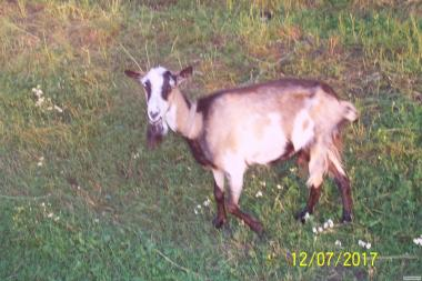 Молоді кози на продаж/обмін