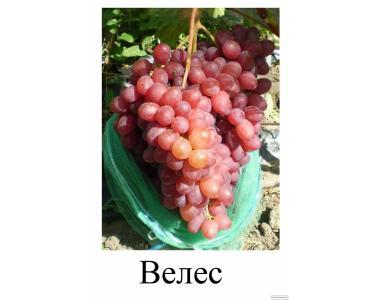 Прада саджанці винограду Ілларія,Розмус,Каталонія,Манікюр фінгер,