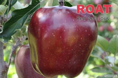 Саджанці яблуні King Roat Red Delicious (Польща)