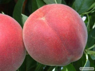 Саженцы персика сорта Алибланка, от производителя