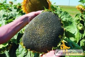 насіння соняшнику під гранстар / Нео, Бонд