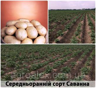 Саванна купити насіннєву картоплю 1р