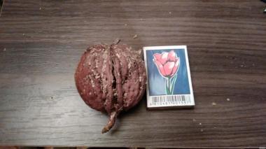 Продам сіянці волоського горіха