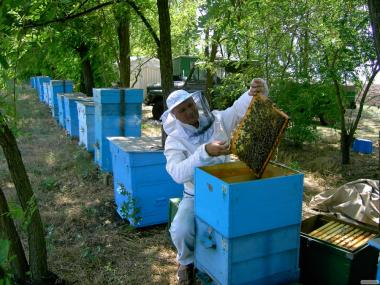 Продаю пчелосемьи карпатской породы Вучковский тип
