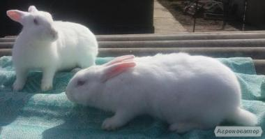 Кролики: полтавский серебристый, французский термон, французский баран