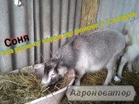 Коза Безрогая,1год.1000грн.