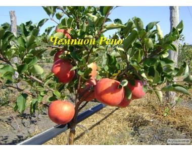 Саженцы яблони сорта Чемпион Рено, от производителя