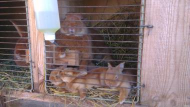 Кролики Новозеландський червоний
