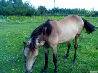 Молода кобила
