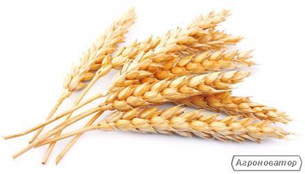 Озима пшениця Кольчуга