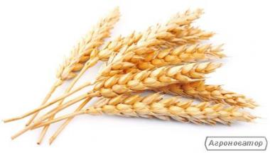 Озимая пшеница Кольчуга