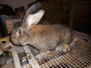 продам кроликив дёшево.
