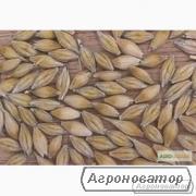 Семена ячменя озимого - сорт Росава