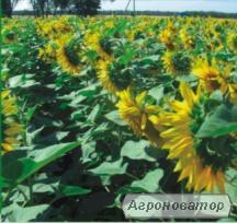 Гібрид соняшнику Олексій (під гранстар)