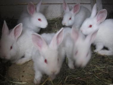 Продам кроликов мясной породы Хила (Hyla).