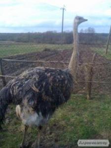 Продам страуса(Самка)