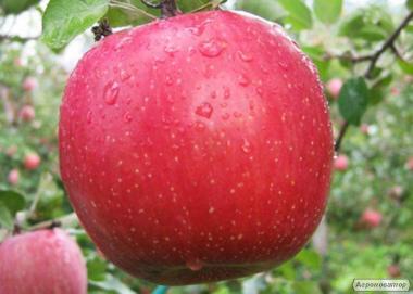 Саджанці яблуні сорту Кіку-8 від виробника