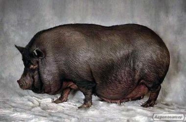 Продам В'єтнамську свинку