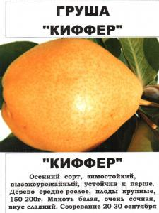 Груша Киффер