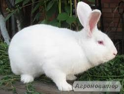 Кролики породи ТЕРМОНСЬКА БІЛА