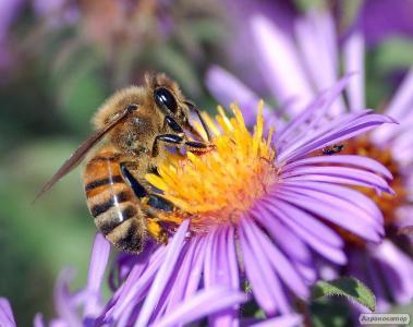 Продам семьи пчелопакеты матки