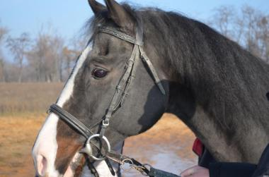 Продам коня: Украинская Верховая