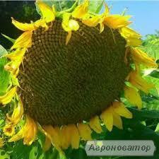 насіння соняшнику HC Имисан