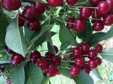 Саженцы вишни Дебрецене Ботермо