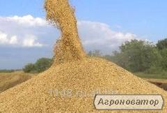 Продам пшеницю 5-й клас, 60 тонн. Херсонська область, Голопристанський