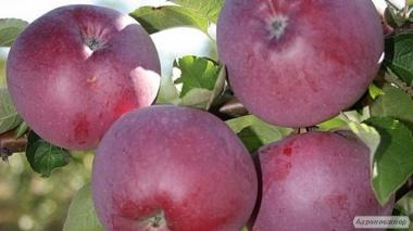 Саджанці яблуні Вільямс Прайд