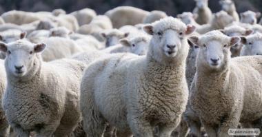 Продам овец баранов и ягнят